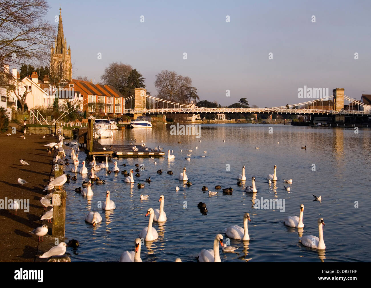 Bucks - Marlow on Thames - suspension bridge - church tower - towpath - swans - mellow sunlight - late afternoon - Stock Image