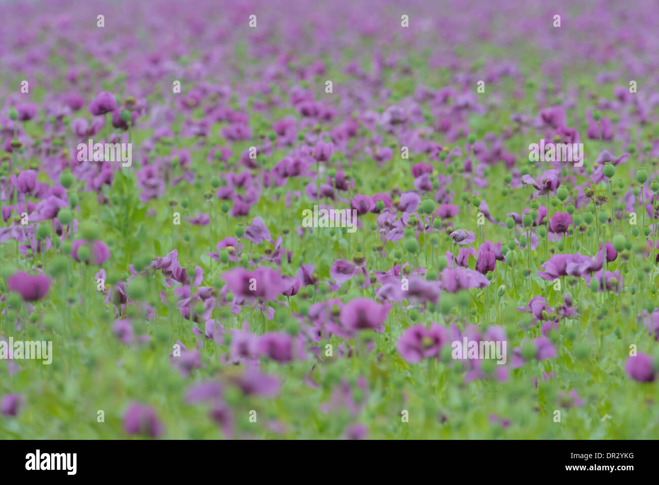 Mohn Wiese, Poppy meadow - Stock Image