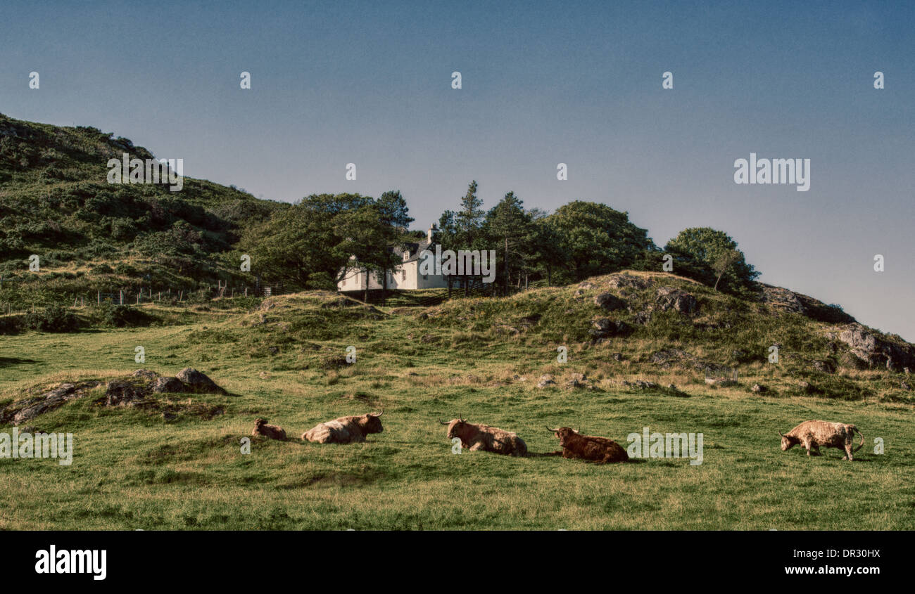 Highland Cows, laze on a Summers afternoon, on Crofting Land, Scottish Highlands. - Stock Image