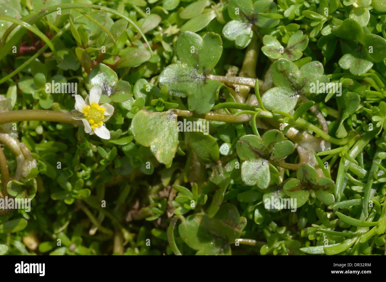 Ivy-leaved Crowfoot, Ranunculus hederaceus - Stock Image