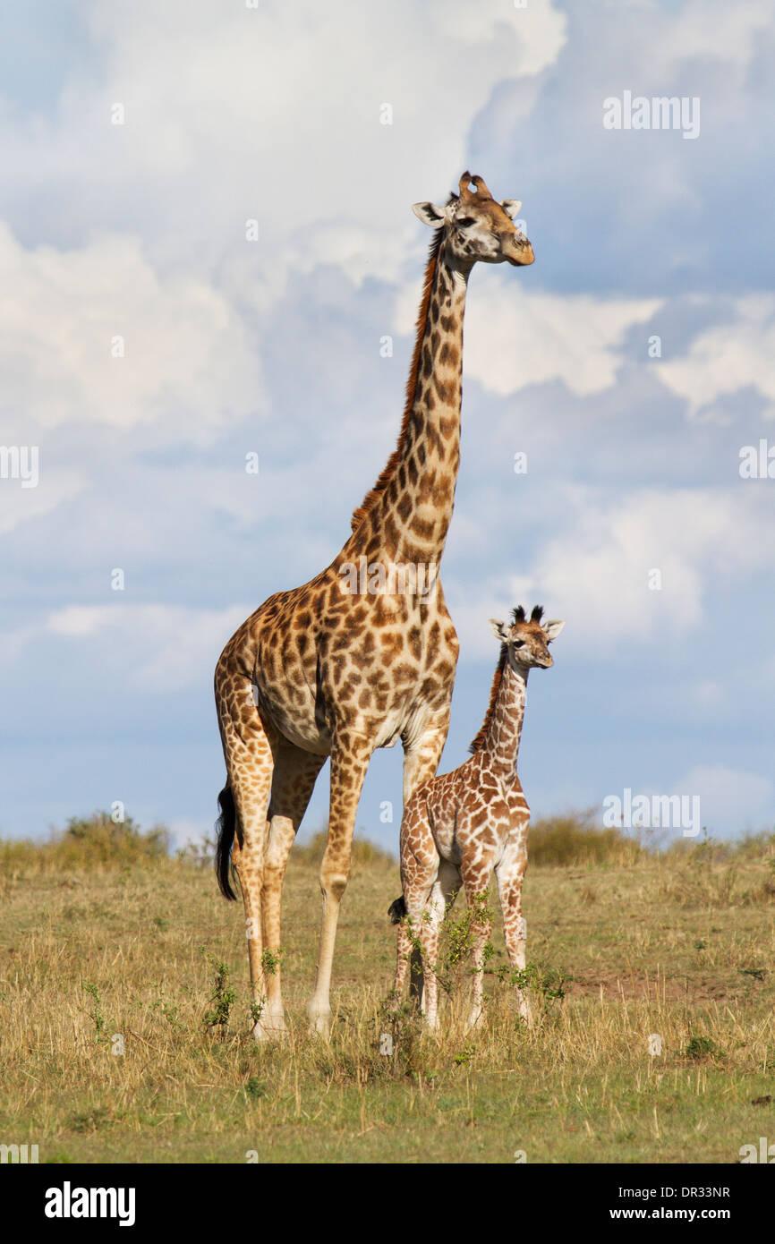 Giraffe Mother And Baby Cute Stock Photos Giraffe Mother And Baby