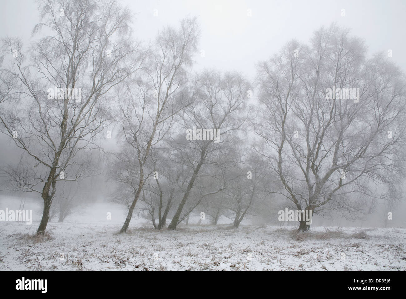 Snow covers the ground and the branches of the slanted Silver Birch trees, Betula Pendula, growing on the Malvern Stock Photo