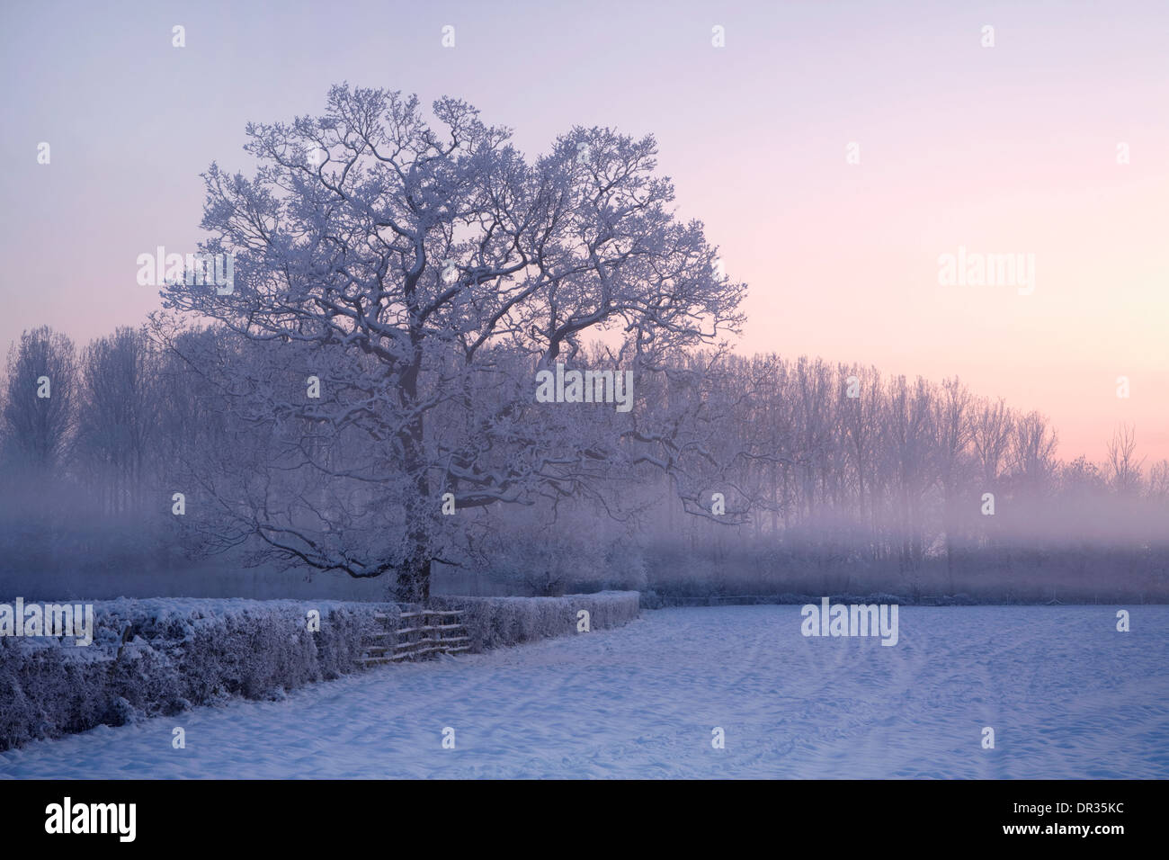 An oak tree growing in a hedge stands out through the snow and mist in the corner of a field near Defford after Stock Photo