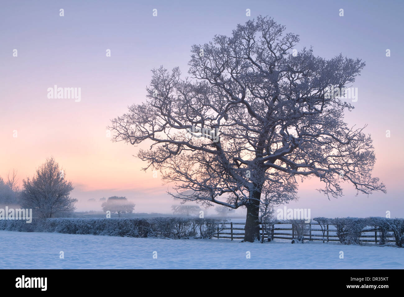An oak tree growing in a hedge stands out through the snow and mist in the corner of a field near Defford at sunset. Stock Photo