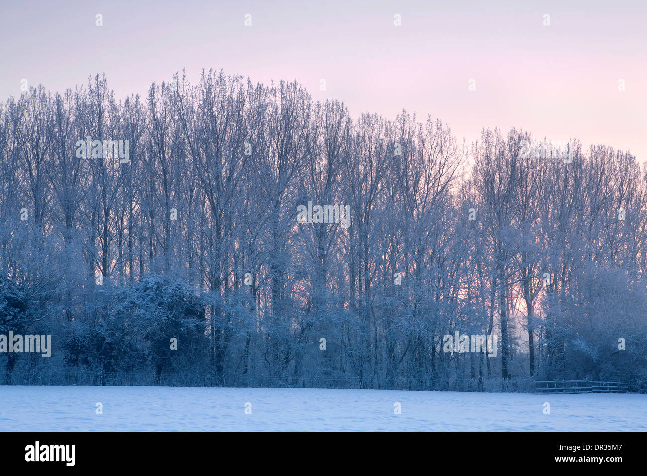 A line of poplar trees are covered in a dusting of snow while the sun sets in the background. Stock Photo