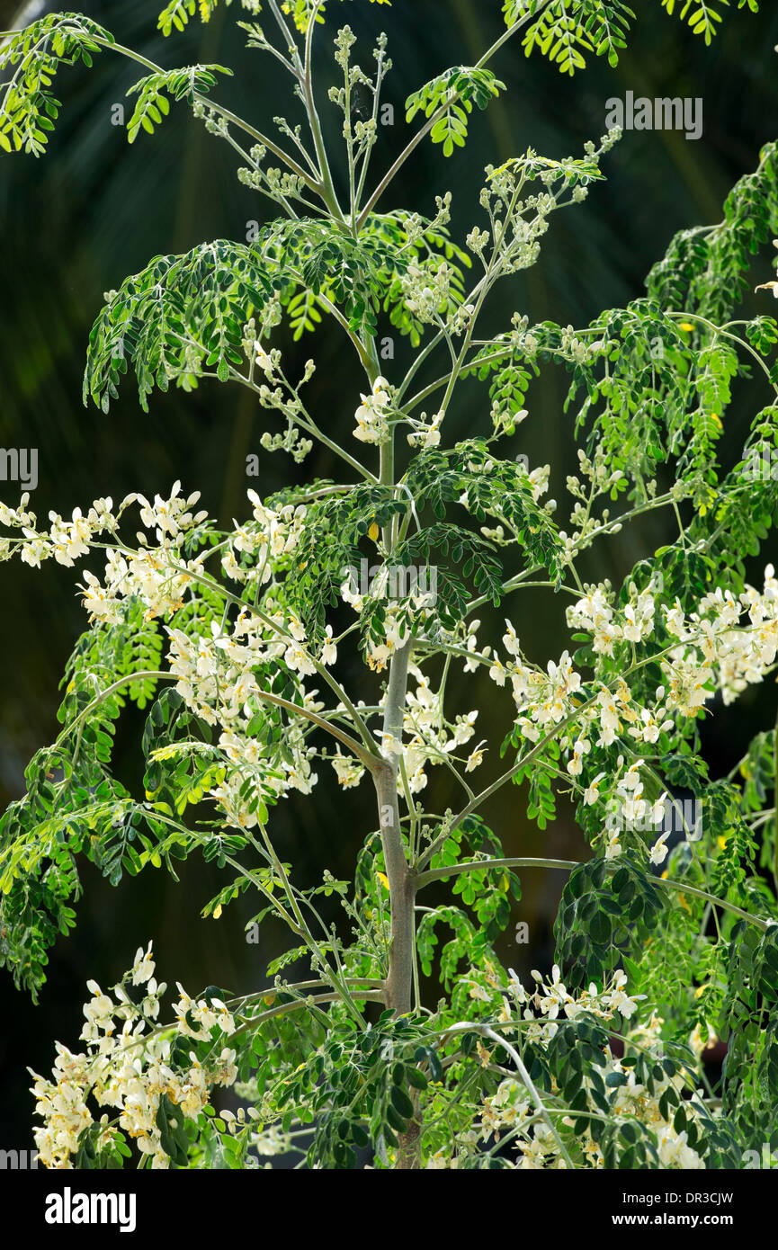 Moringa oleifera, Drumstick Tree / The Miracle Tree flowering. India - Stock Image