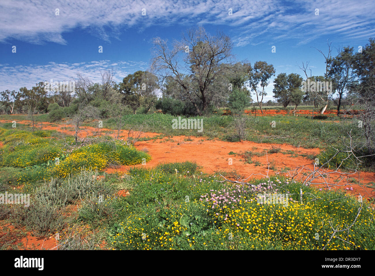 Colourful wildflowers and emerald grass on red soil and among shrubs in Australian outback near Brewarrina NSW after Stock Photo