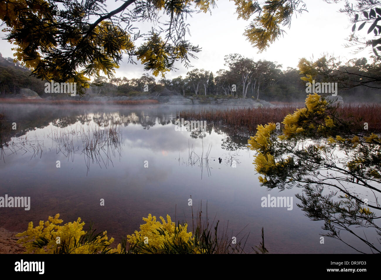 Spectacular landscape, mist over lake, wetlands edged with wildflowers at Dunn's Swamp  Wollemi National Park NSW Australia - Stock Image