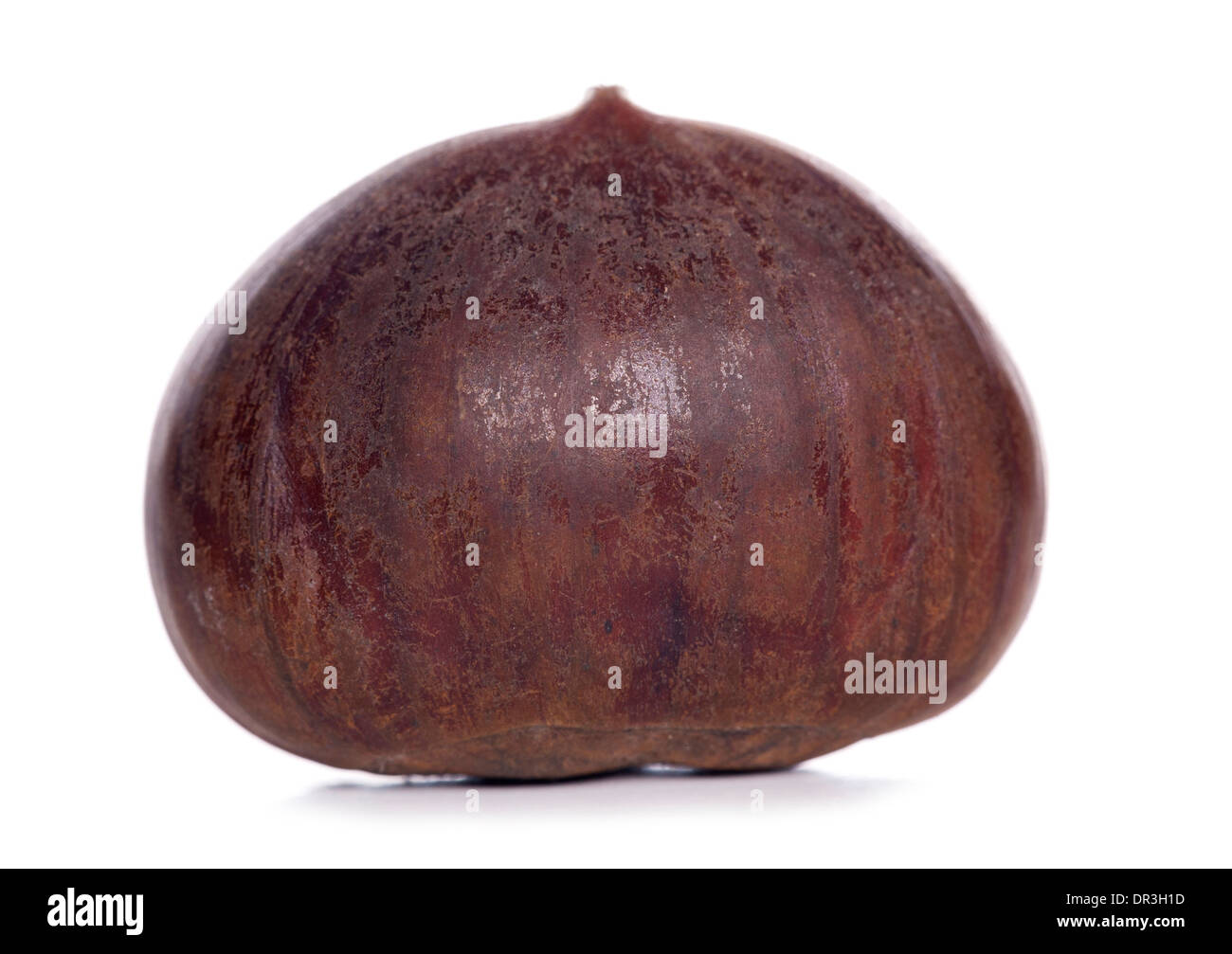 single chestnut studio cut out - Stock Image