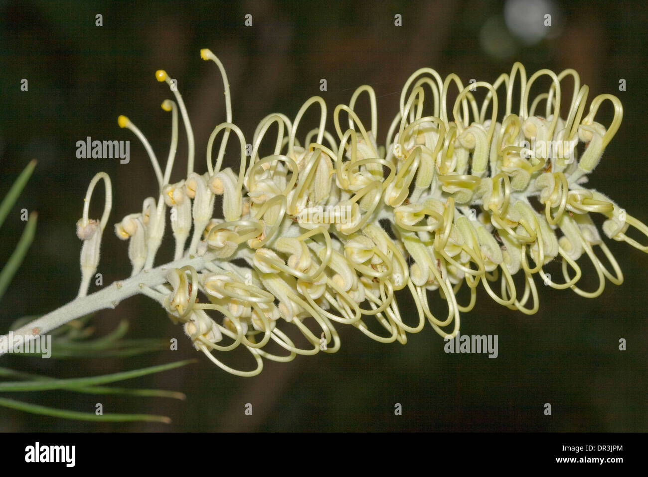 Close up of beautiful creamy white flower of Grevillea cultivar 'Moonlight' against dark background - Stock Image
