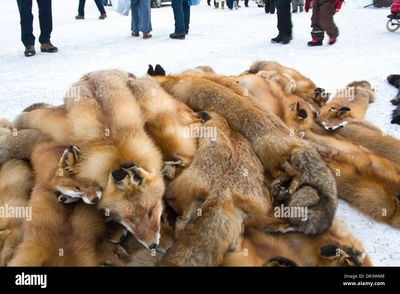 Red fox  Vulpes vulpes Skin Jokkmokk fair Laponia Sweden Winter - Stock Image