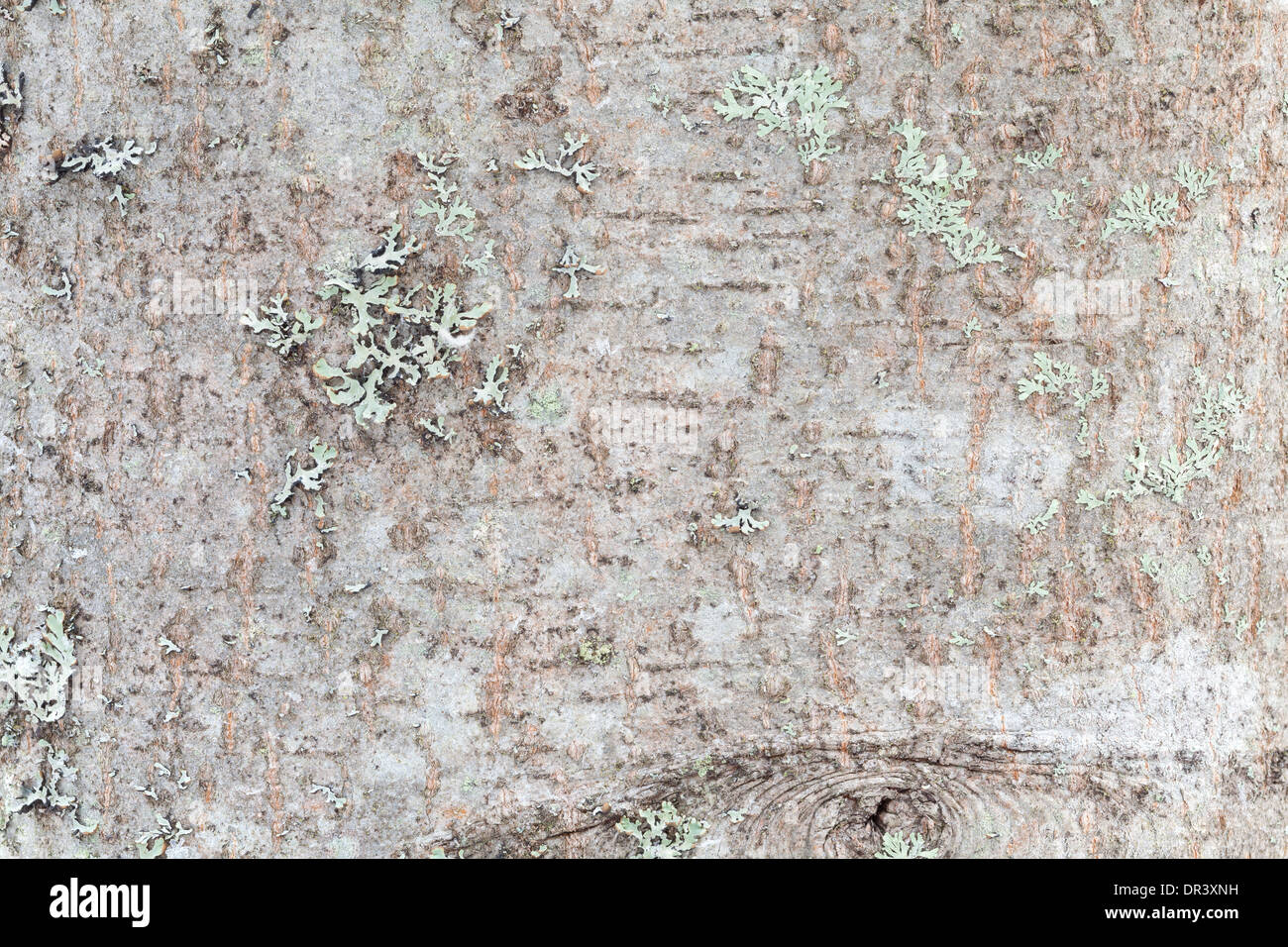 Natural tree bark surface textures - Stock Image