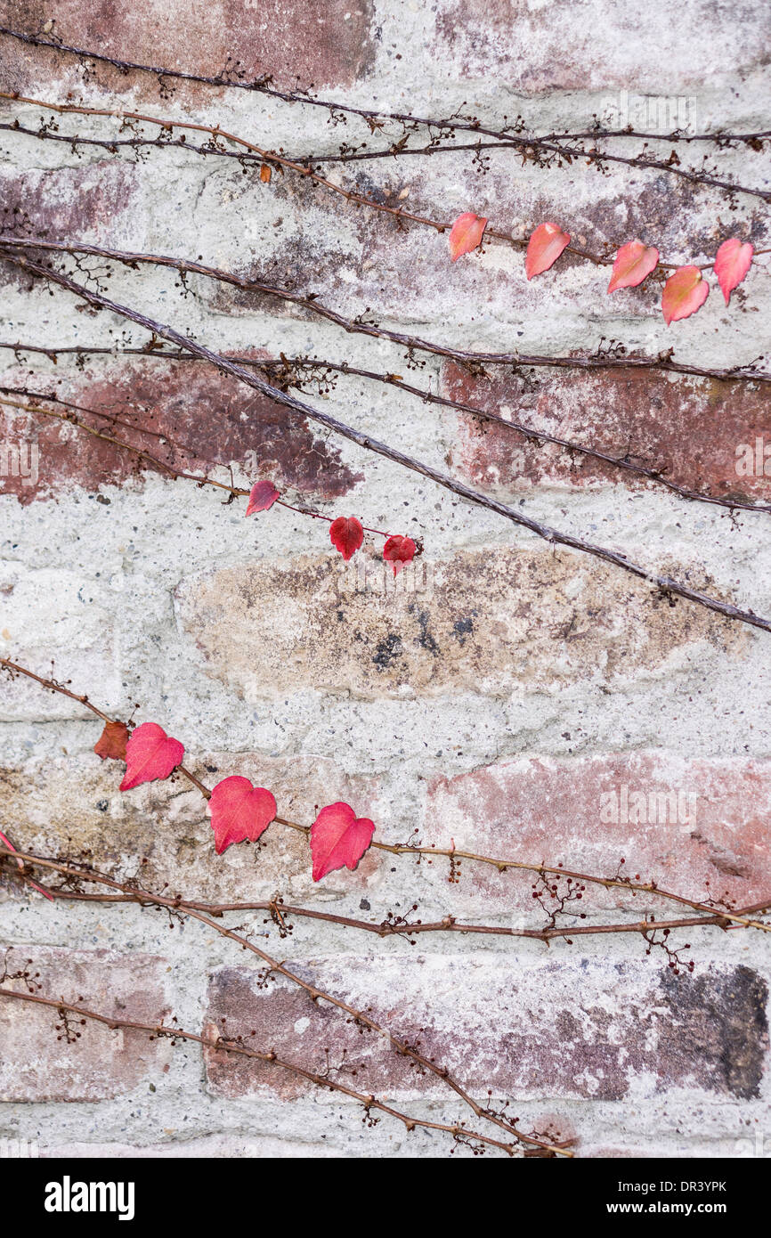 red, yellow and violett tinged ivy tendrils on a old brick wall, greater stuttgart area, germany - Stock Image