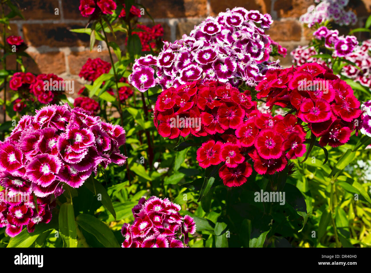 Multicolored Sweet William dianthus hardy biennial flowers in a garden. - Stock Image