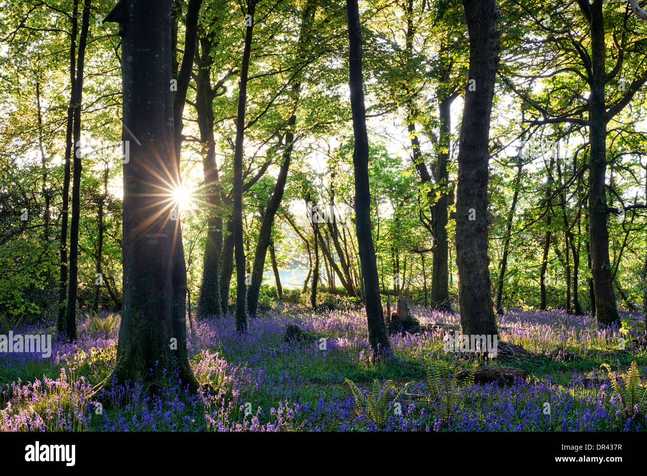 Sun bursting through the trees casting shadows over a carpet of bluebells - Stock Image