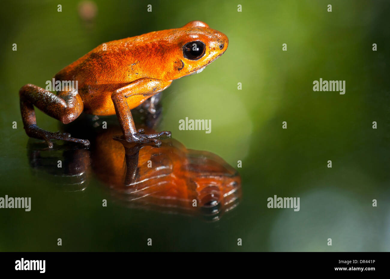 Close-up of Strawberry Poison-Dart Frog - La Laguna del Lagarto Lodge - Boca Tapada, San Carlos, Costa Rica - Stock Image