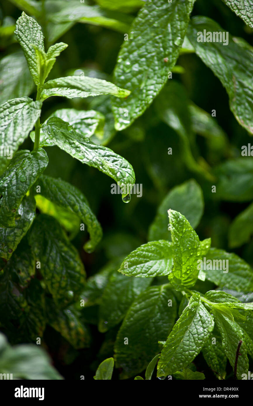 Mint leaves with a water droplet - Stock Image
