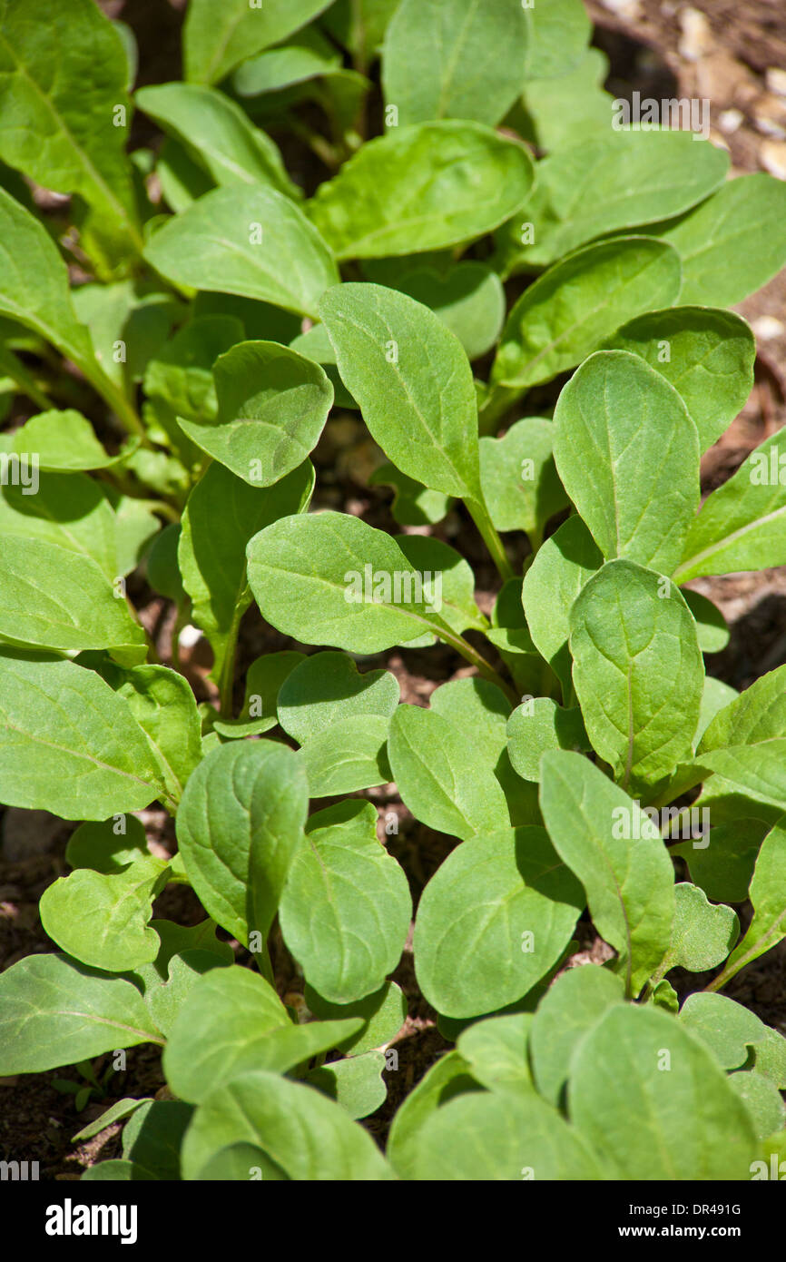 Spinach growing in an urban garden - Stock Image