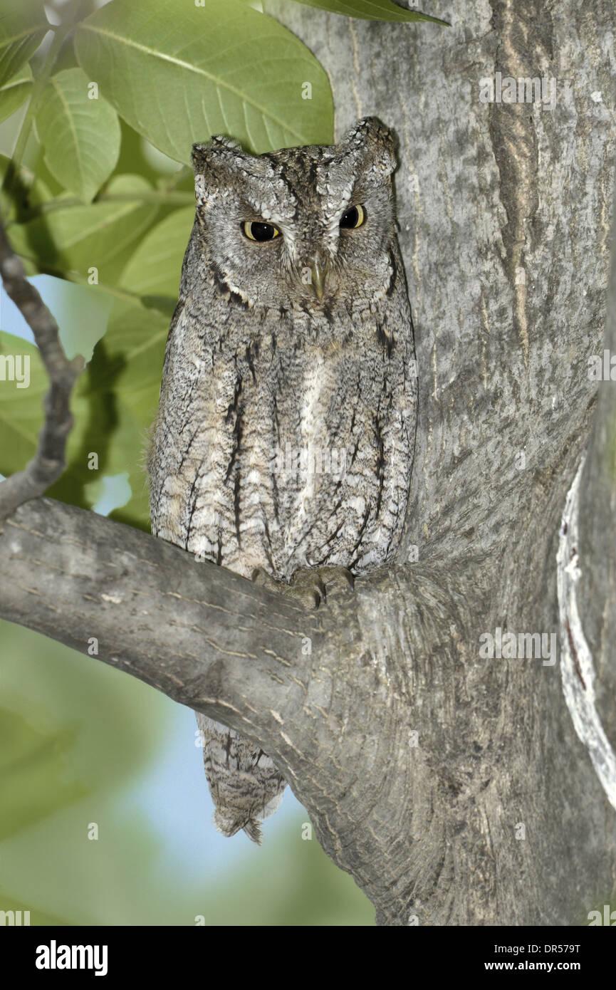 Scops Owl - Otus scops Stock Photo