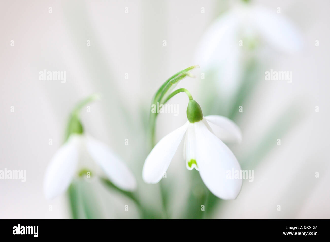 minimal and contemporary image of the classic snowdrop galanthus  Jane Ann Butler Photography  JABP1106 - Stock Image