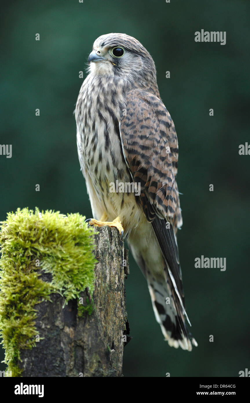 A kestrel perched on a mossy fence post UK - Stock Image