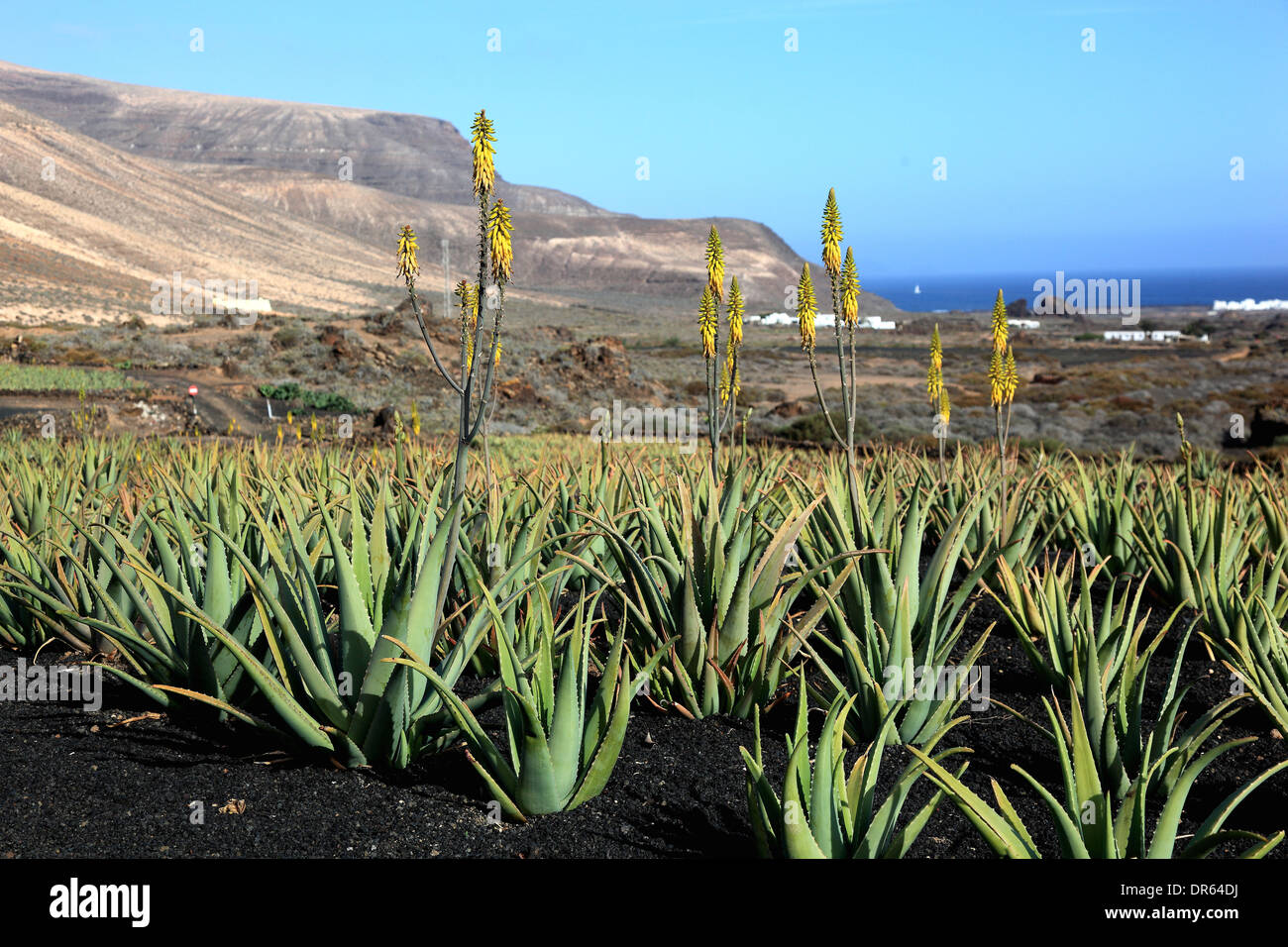 aloe vera plantation at orzola near haria lanzarote canary stock photo 65903422 alamy. Black Bedroom Furniture Sets. Home Design Ideas