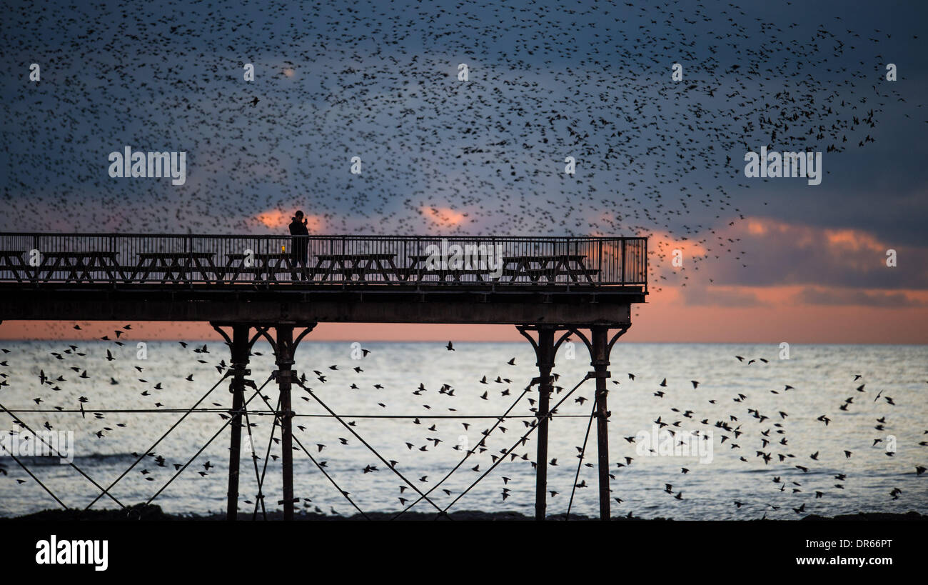 Aberystwyth, UK. 20th Jan, 2014. Starlings roosting on Aberystwyth pier at sunset on Monday 20 Jan 2014. In a brief interlude of fine dry weather ahead of heavy rain forecast for the following day, thousands of starlings fly in to roost on the cast iron legs of the Victorian seaside pier at Aberystwyth on the west Wales coast. This 'murmuration' of the small birds occurs each evening, and is one of only three urban roosts in the UK, and draws bird-watchers from across the country photo Credit:  keith morris/Alamy Live News - Stock Image