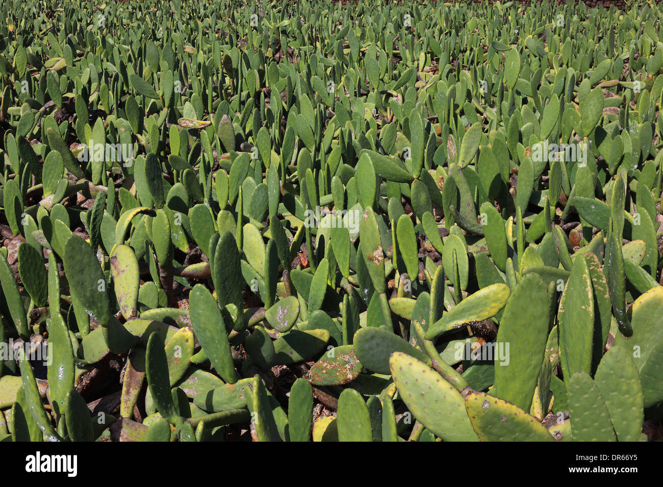 Spain Opuntienplantagen for the breeding of the cochineal scale insect in Guatiza, Lanzarote, Canary islands, canaries - Stock Image