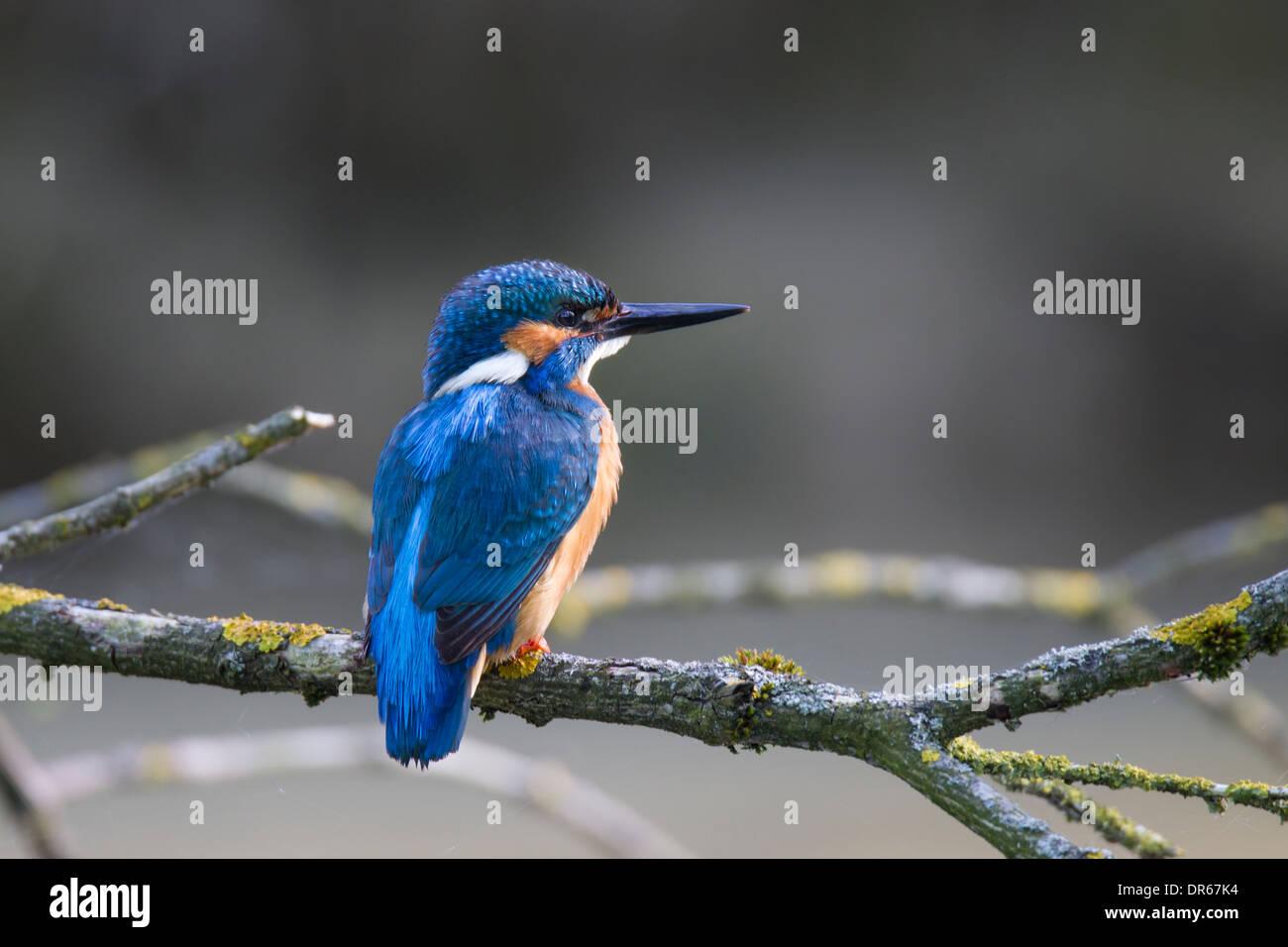 Alcedo atthis Common Kingfisher Eisvogel - Stock Image