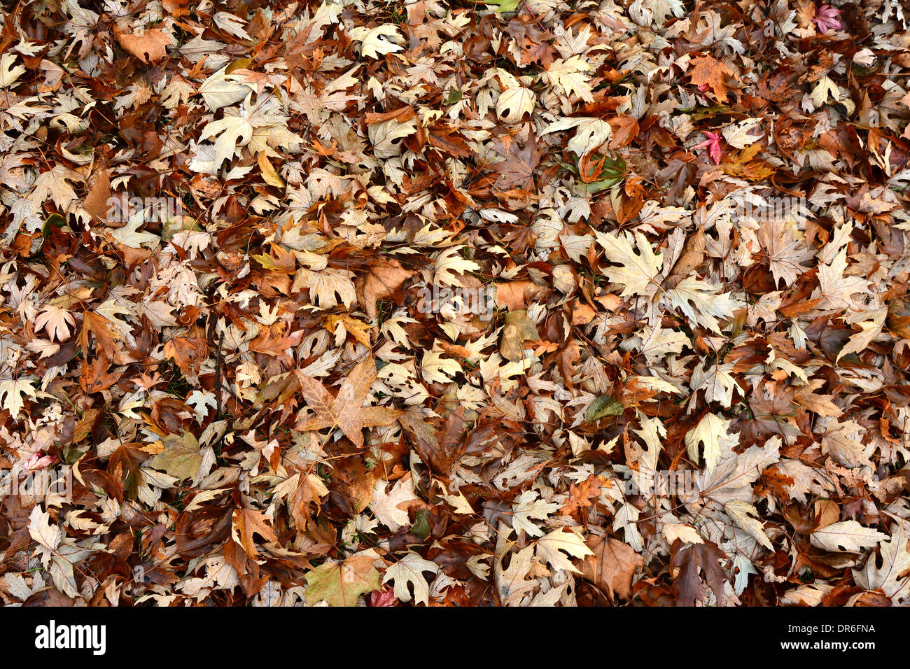 carpet of fallen autumn leaves covers the ground - Stock Image
