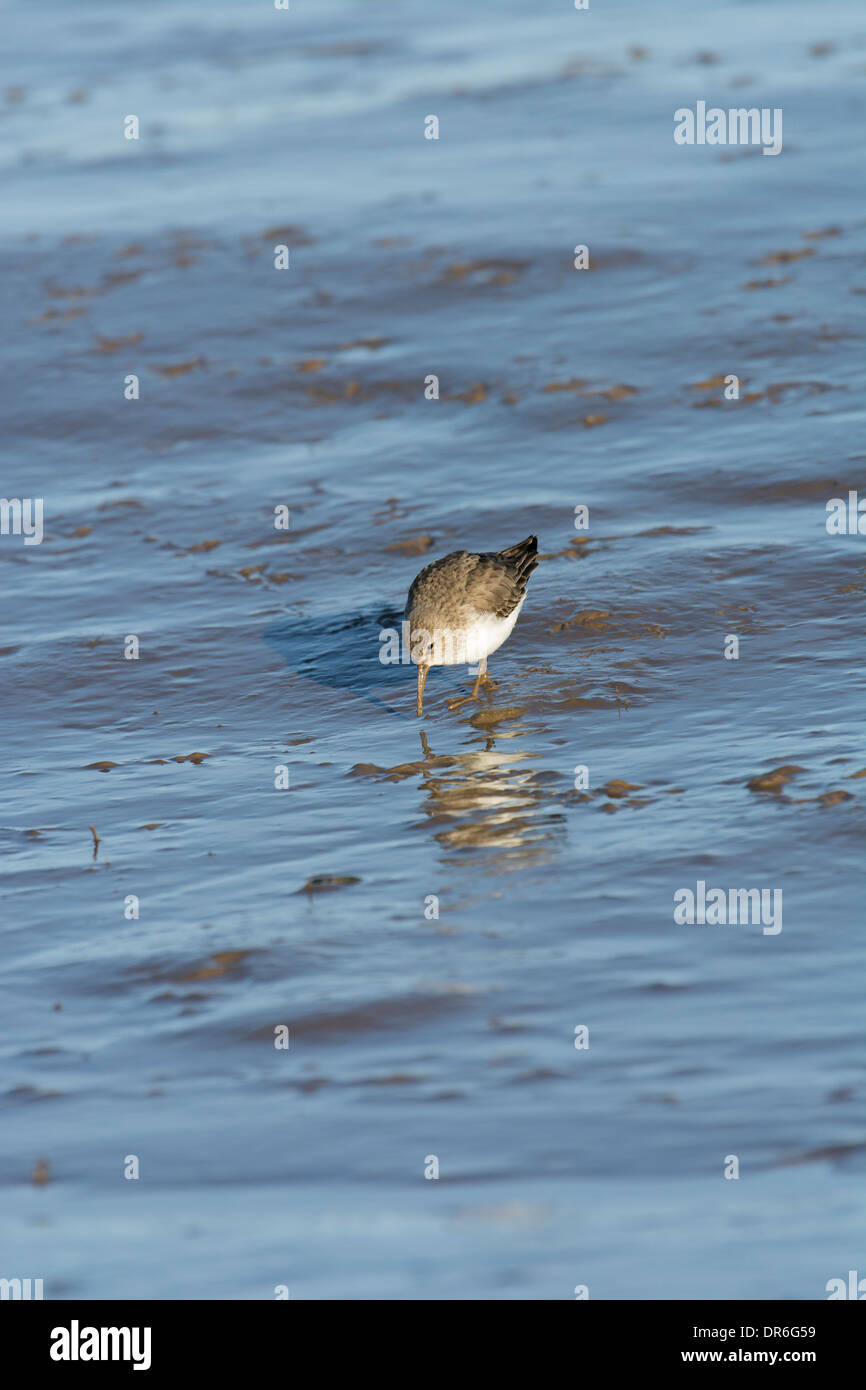 Dunlin (Calidris alpina), feeding on tidal mudflats, Stock Photo