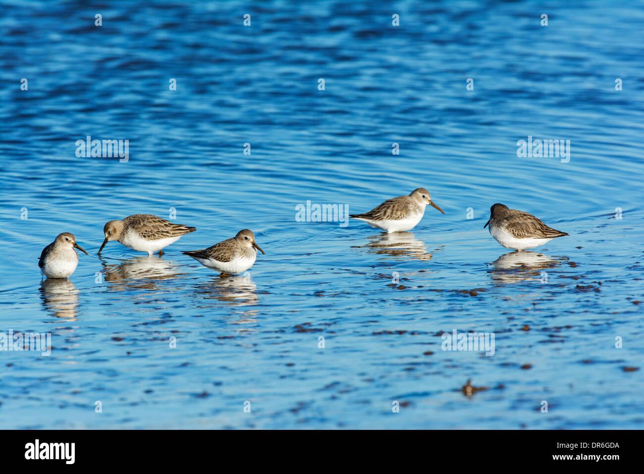 Dunlin (Calidris alpina), feeding on tidal mudflats, Stock Photo