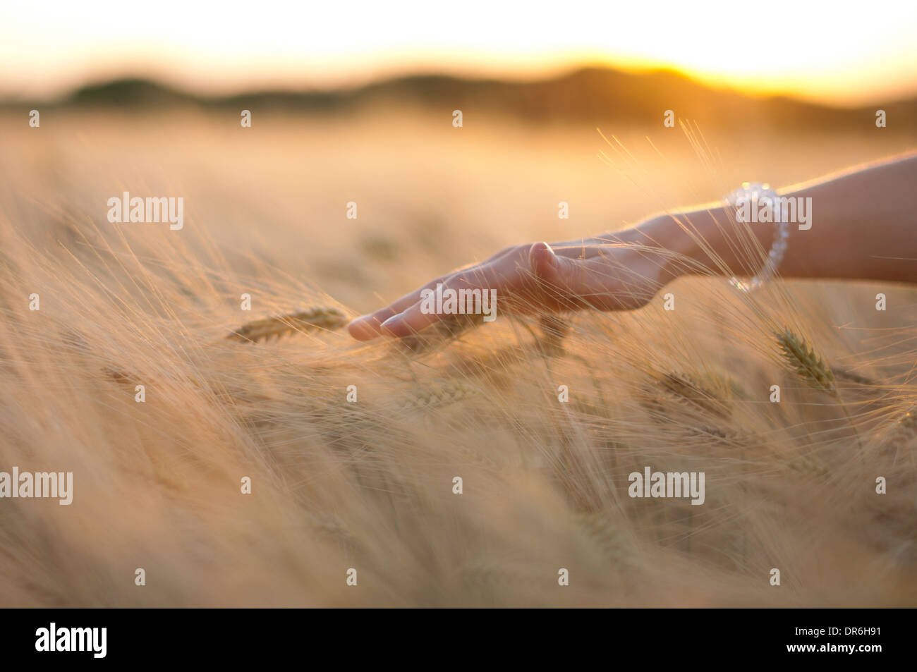 Hand of a woman in a grain field - Stock Image