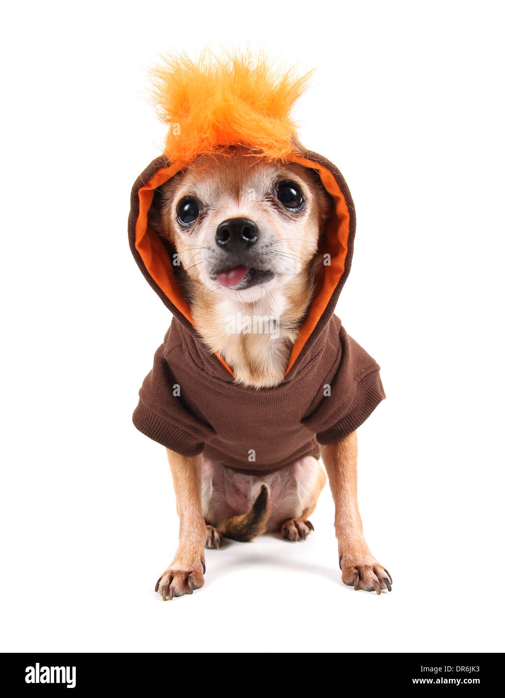 cute chihuahua with a costume on  sc 1 st  Alamy & cute chihuahua with a costume on Stock Photo: 65914551 - Alamy