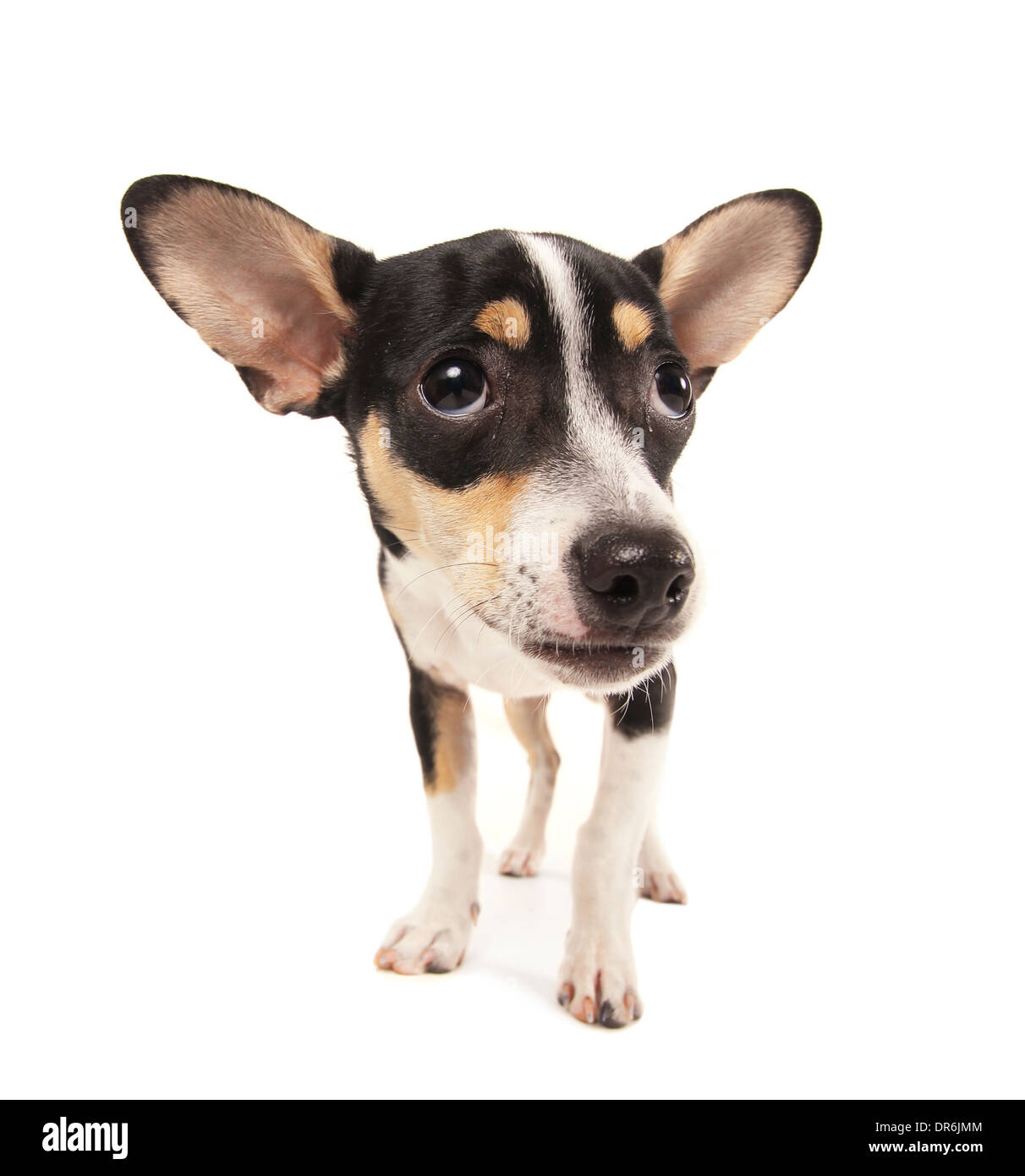 studio shot of a rat terrier chihuahua mix isolated on a white background - Stock Image