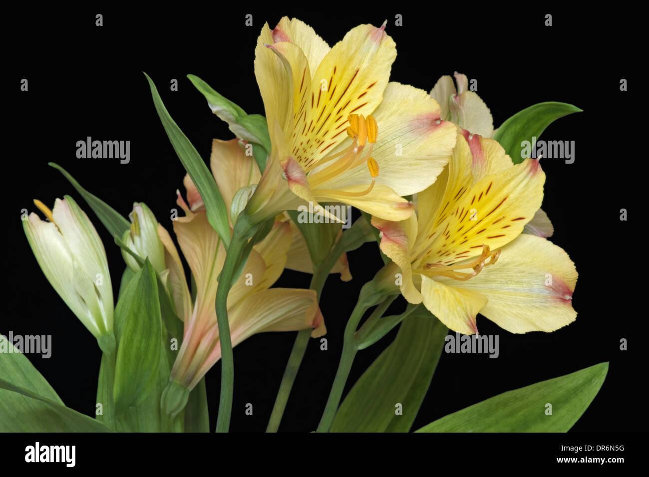 Peruvian lily (Alstroemeria x hybrid) Stock Photo