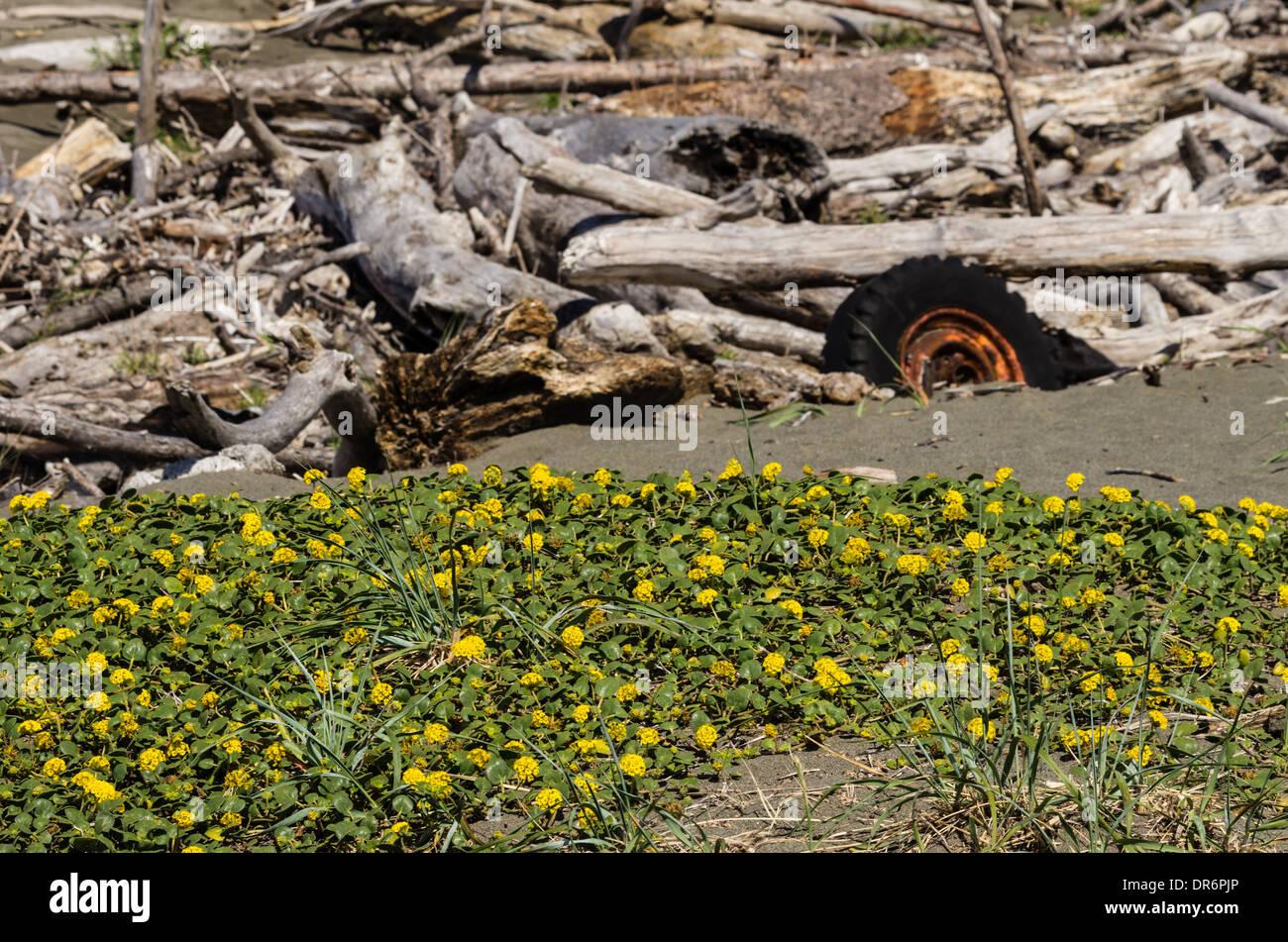 Abronia latifolia growing on the Oregon coast near trash dumped on the beach. Brookings, Oregon - Stock Image