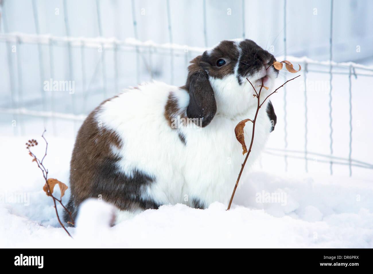 Holland Lop rabbit browsing on shrub in yard - Stock Image