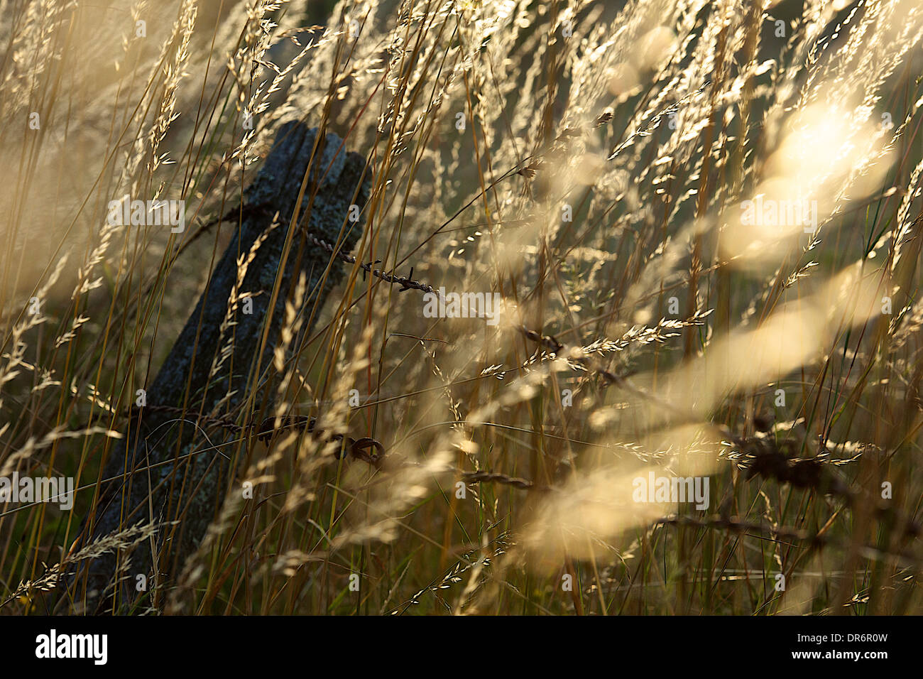 Barbwire and grasses - Stock Image