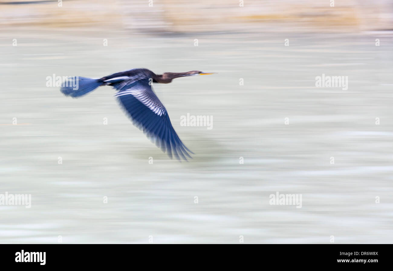 An Indian Darter (Anhinga melanogaster) in the Sunderbans, a low lying area of the Ganges Delta in Eastern India, that is very vulnerable to sea level rise. - Stock Image