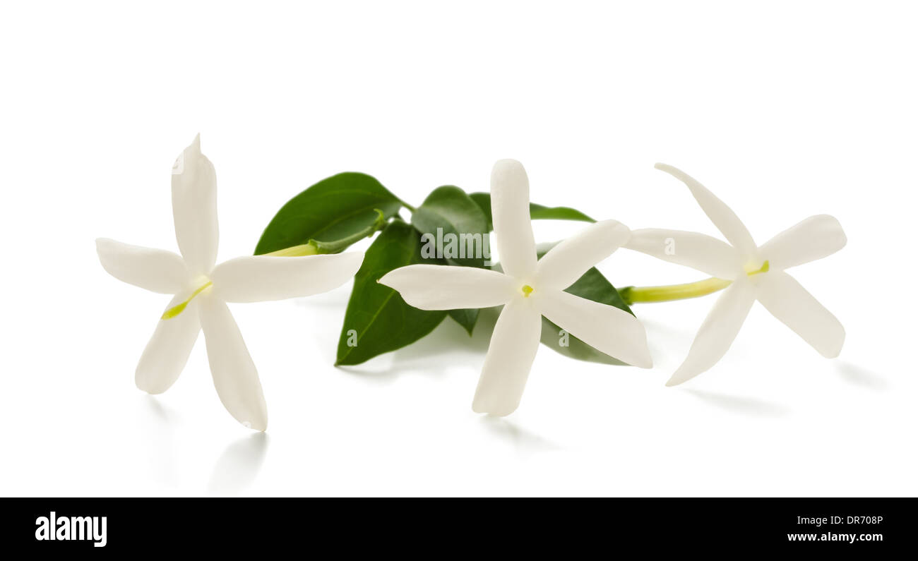 jasmine flowers on branch isolated on white - Stock Image