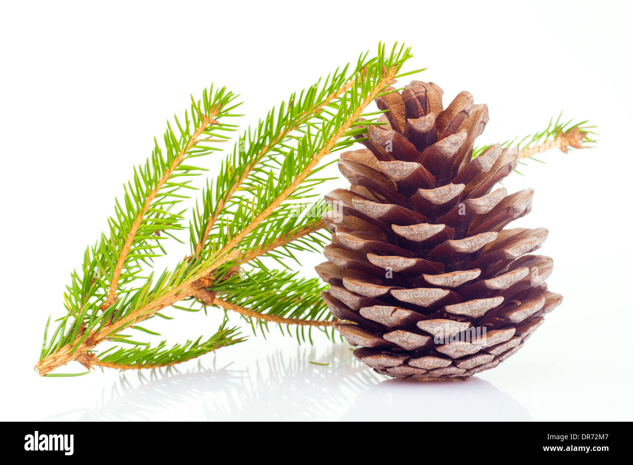 Fir cone and spruce branch on white background - Stock Image