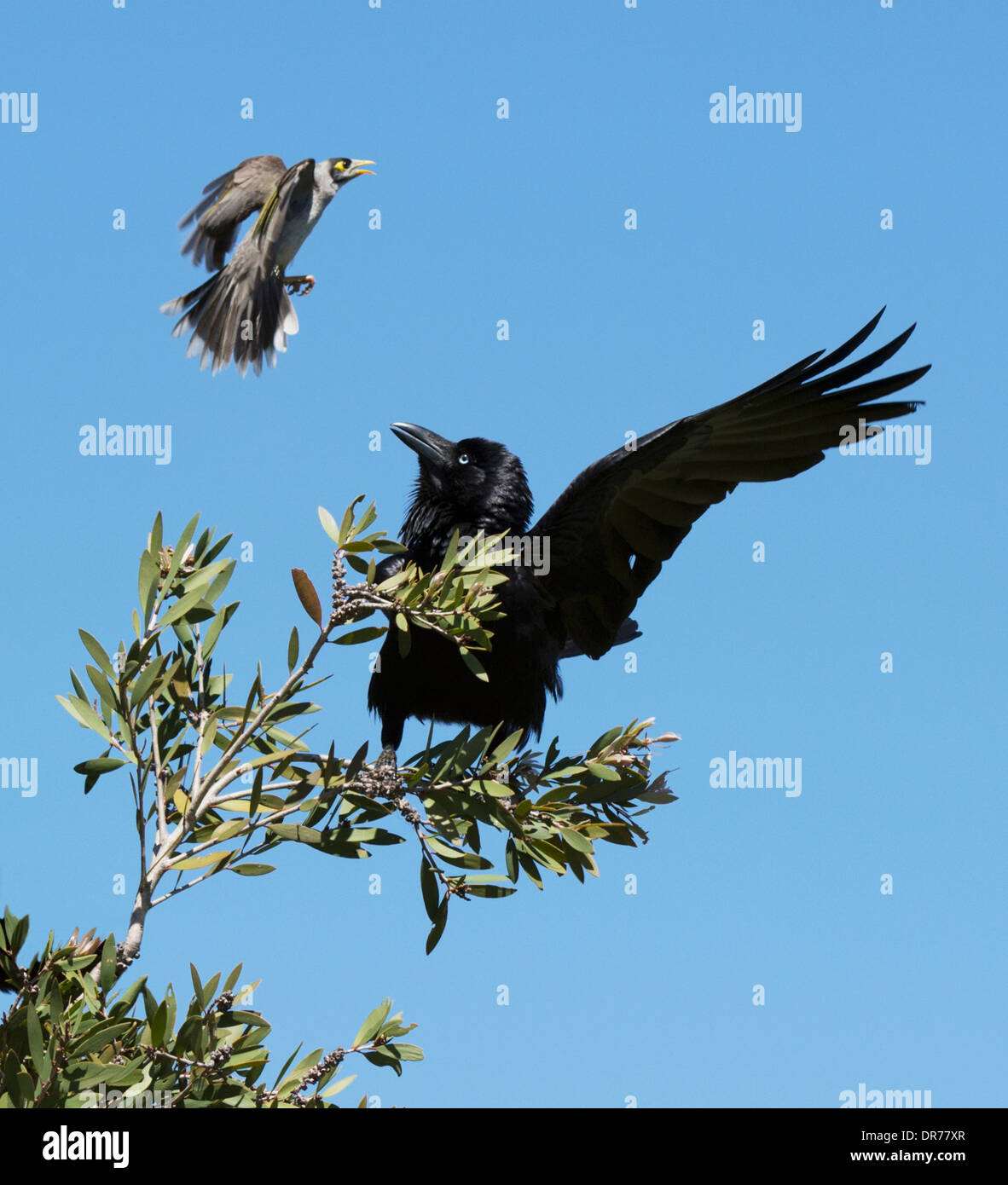 Australian Raven (Corvus coronoides) being mobbed by a Noisy Miner - Stock Image