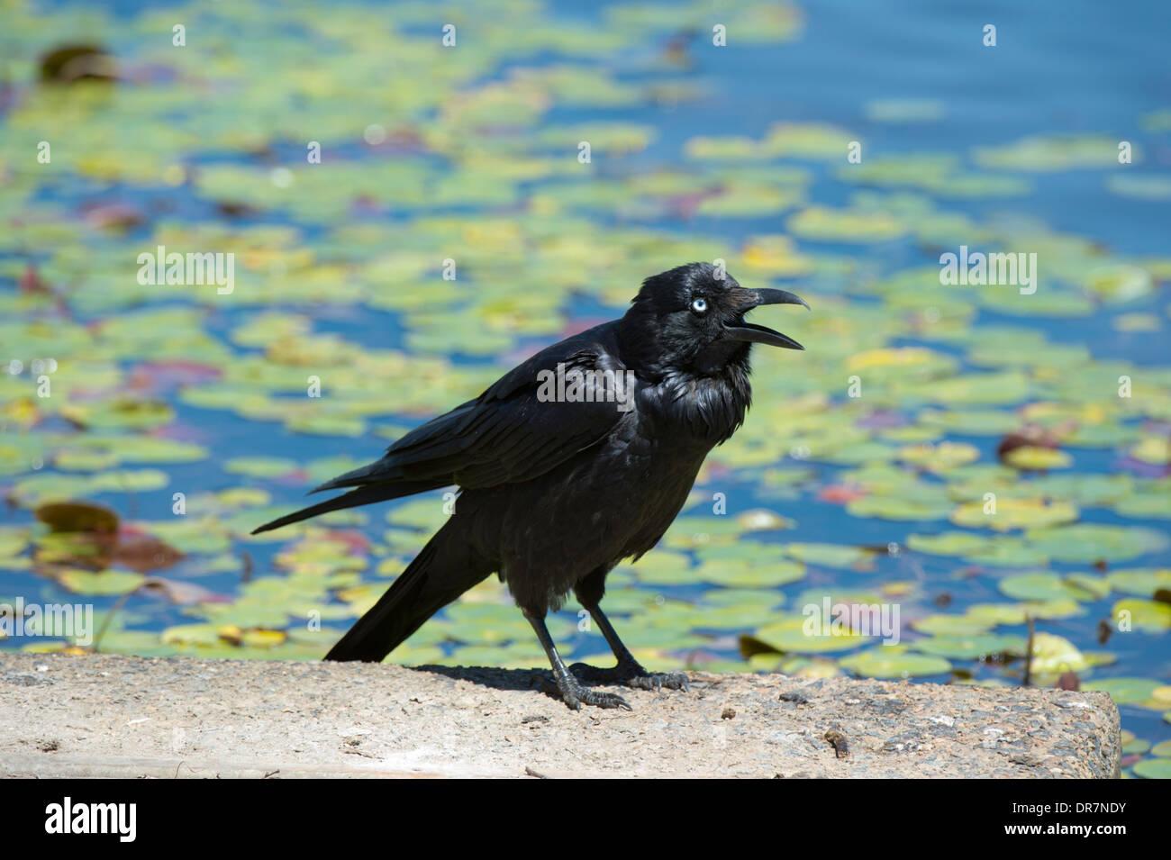 Australian Raven (Corvus coronoides) - New South Wales - Australia - Stock Image