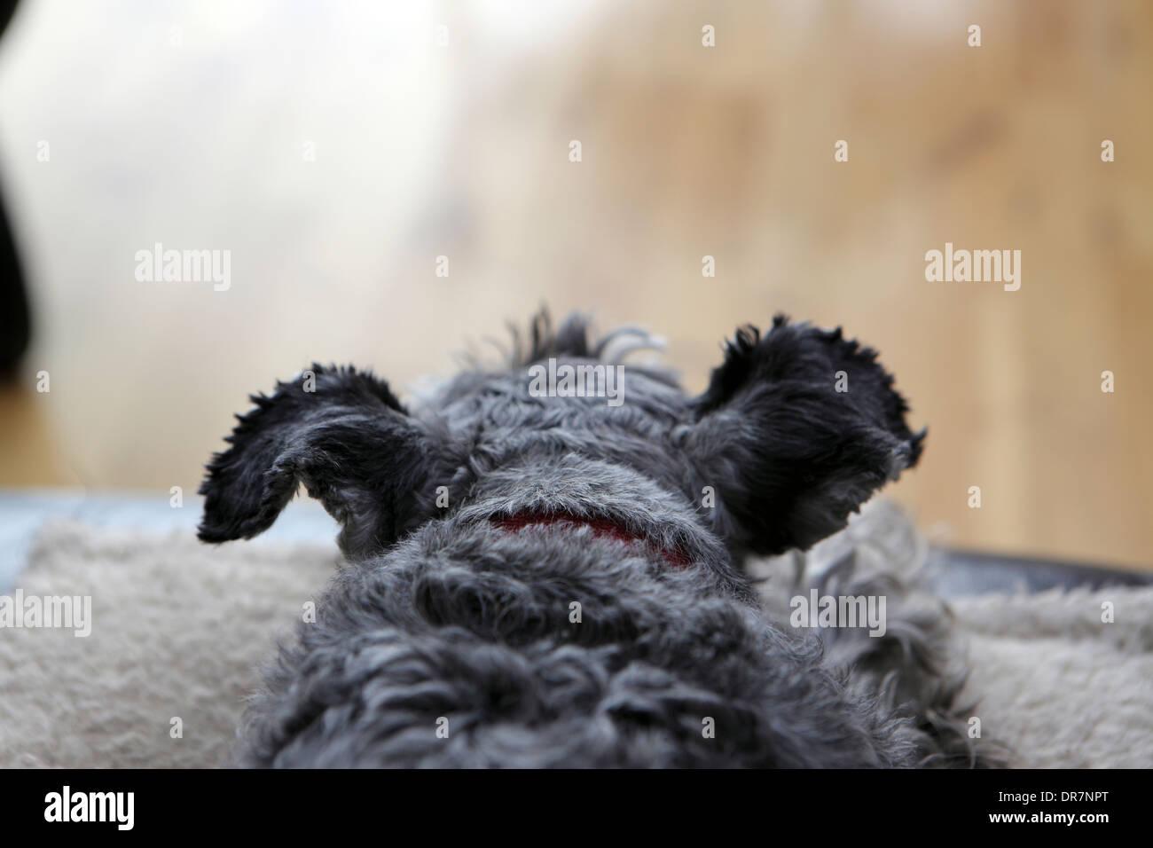 Man's best friend, miniature Schnauzer sitting on the sofa. - Stock Image