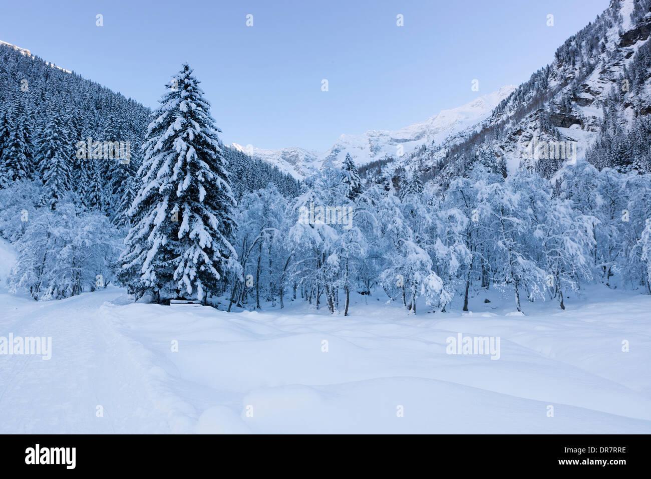Winter forest in Vals Valley, Vals, Steinach, Wipptal, Tyrol, Austria Stock Photo
