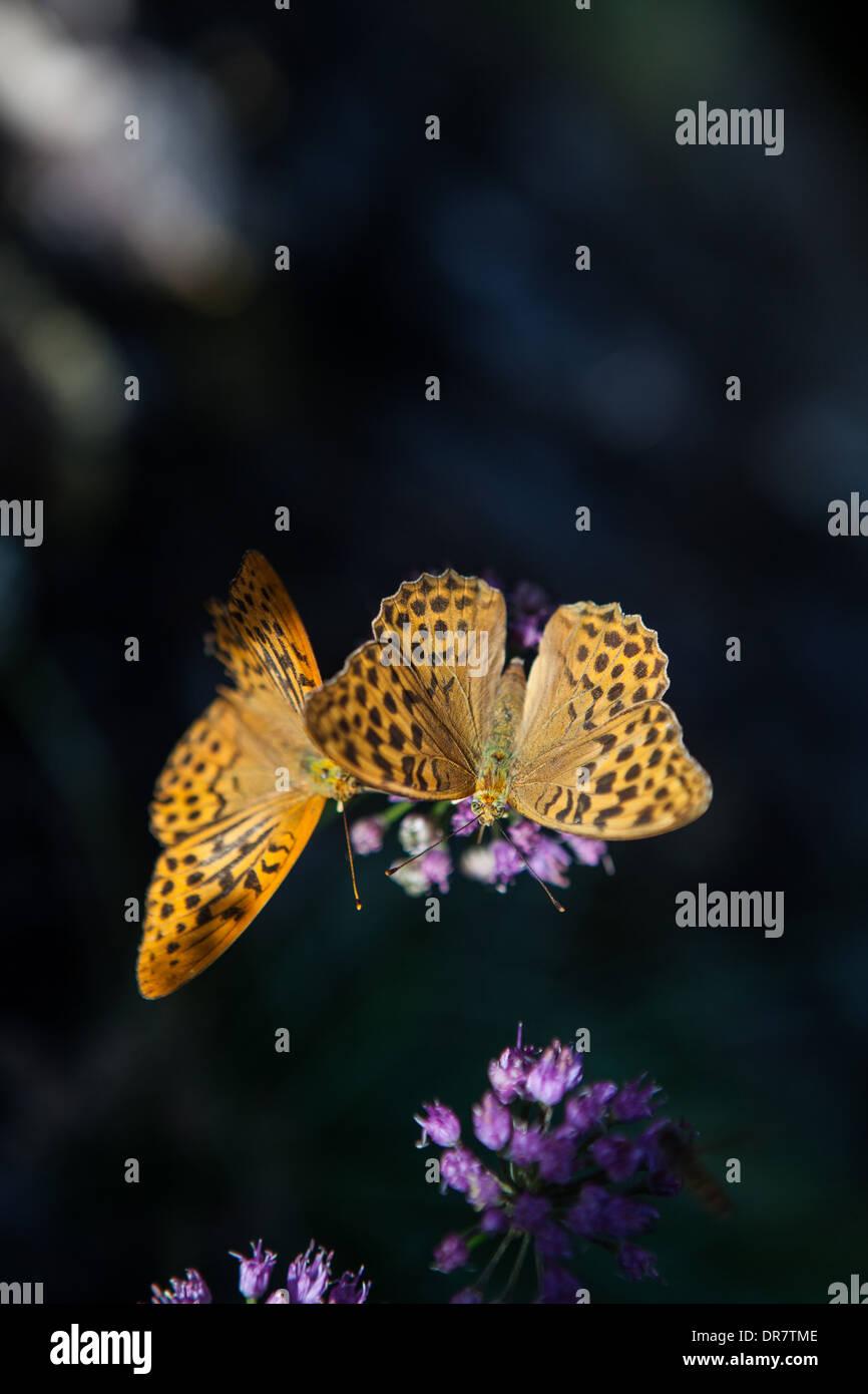 2 butterflies, dark green fritillary (Argynnis aglaja) south of france, flowers - Stock Image