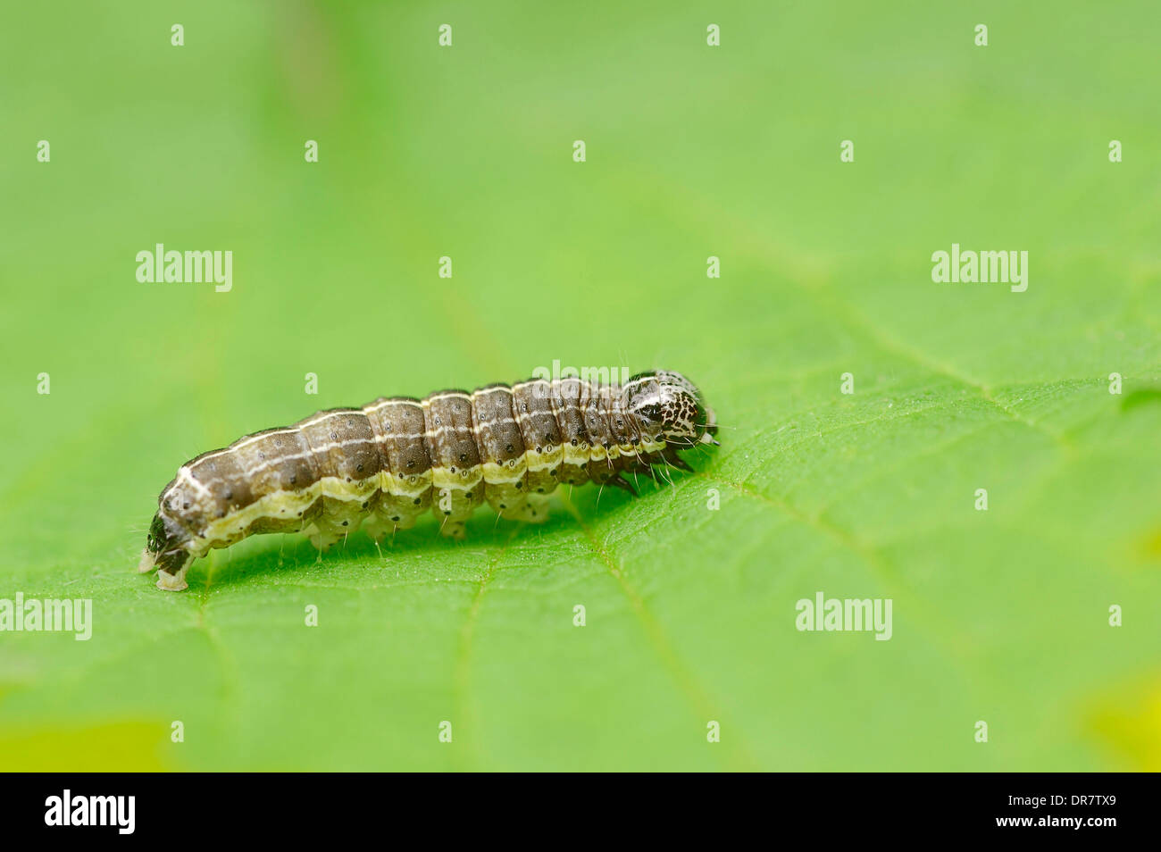 Caterpillar, Small Quaker (Orthosia cruda), North Rhine-Westphalia, Germany - Stock Image