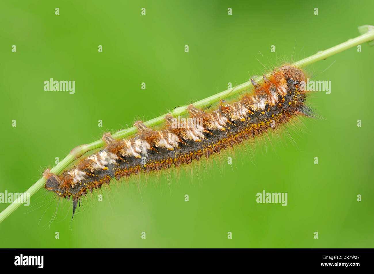 Caterpillar, The Drinker (Euthrix potatoria), North Rhine-Westphalia, Germany - Stock Image