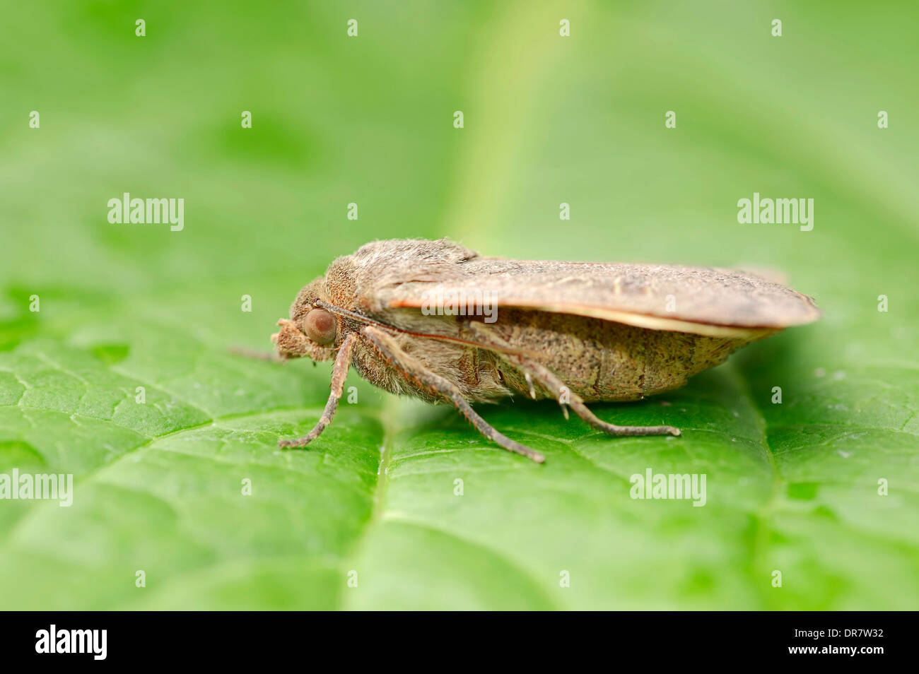 Lesser Yellow Underwing (Noctua comes), North Rhine-Westphalia, Germany - Stock Image